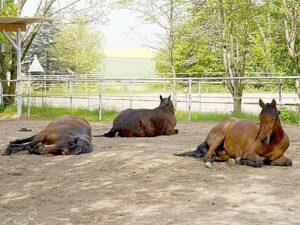Pferde entspannen im Offenstall